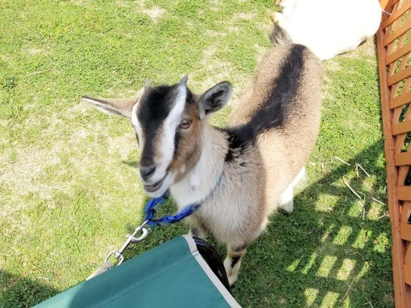 アウトドアデイジャパン福岡2019-JAF/ふれあい動物園の子ヤギ