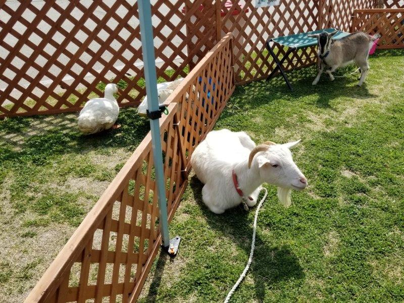 アウトドアデイジャパン福岡2019-JAF/ふれあい動物園のヤギ