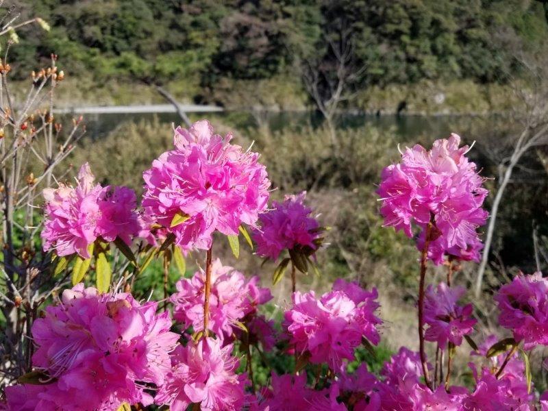 スノーピークおち仁淀川(ピンクの花)