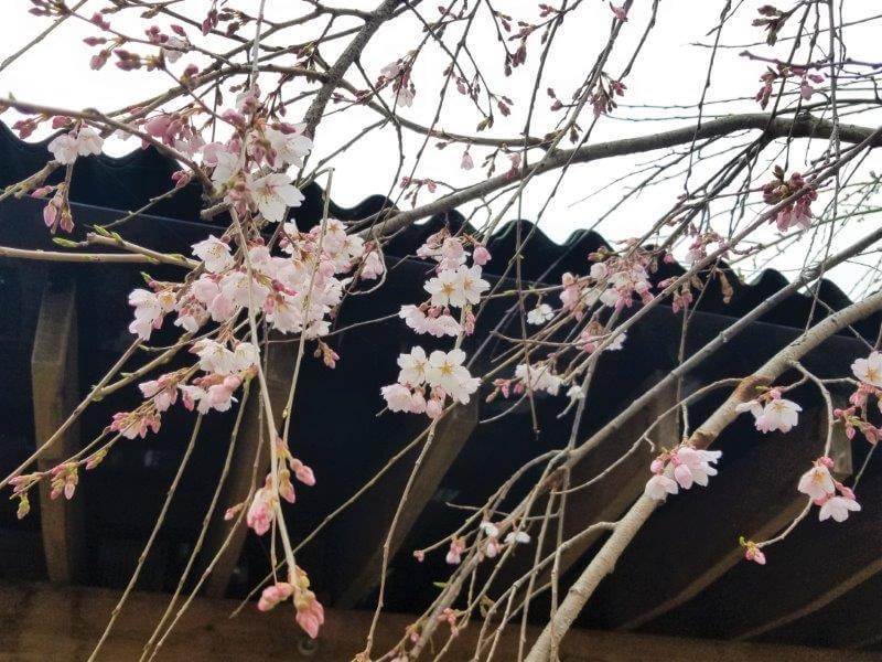 香川県山越うどんの桜