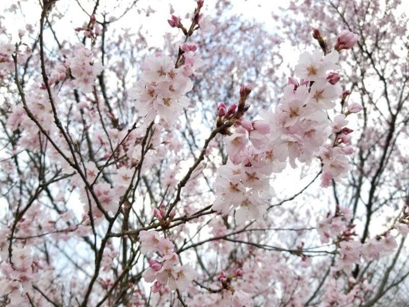 まんのう公園の桜
