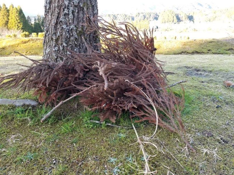 ゆのまえキャンプ場で松の葉を拾う