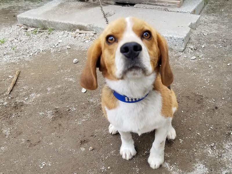 ゴンドーシャロレー犬
