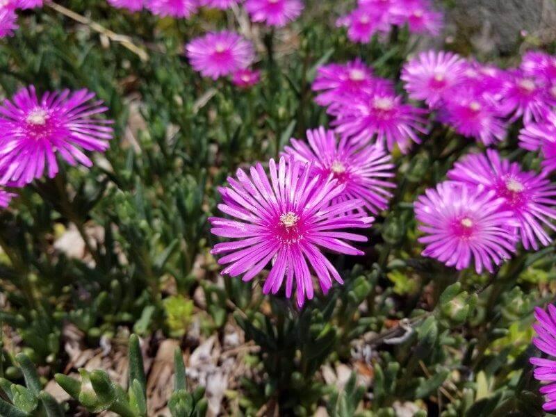 ゴンドーシャロレー に咲いてた花