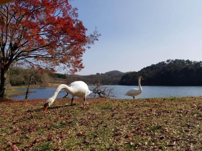 志高湖キャンプ場 白鳥