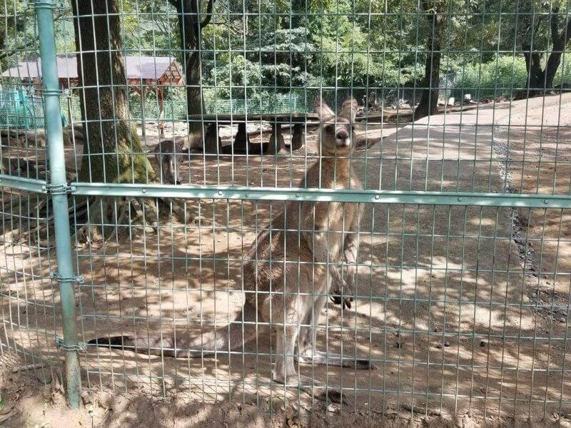 四季の里 旭志 ふれあい動物広場のカンガルー