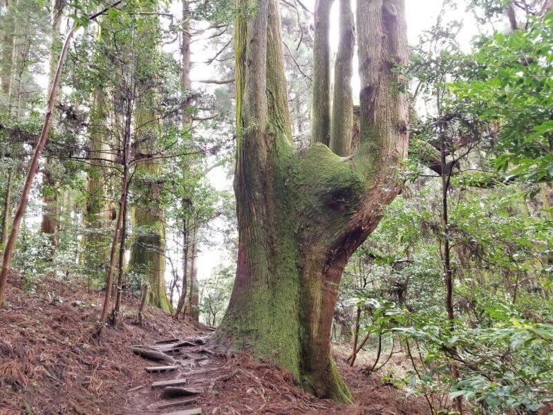 弊立神宮 大きな杉の木