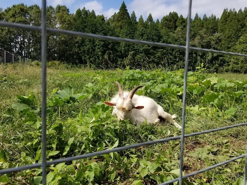 キャンプ&農園 玖珠の杜 畑にいるヤギ