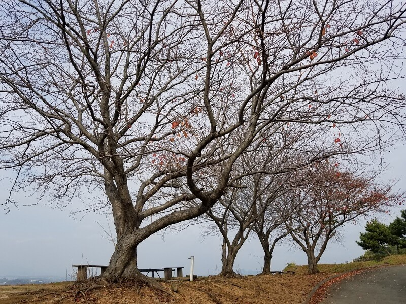 草枕山荘キャンプ場 新エリアの桜