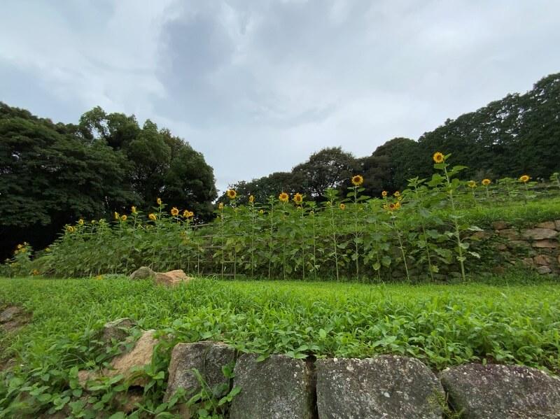 橘香園キャンプ場で咲き誇るヒマワリたち